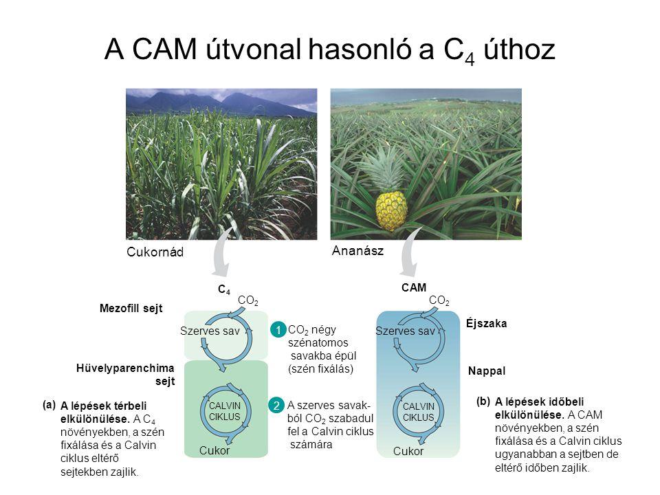 A CAM útvonal hasonló a C 4 úthoz A lépések térbeli elkülönülése. A C 4 növényekben, a szén fixálása és a Calvin ciklus eltérő sejtekben zajlik. (a) A