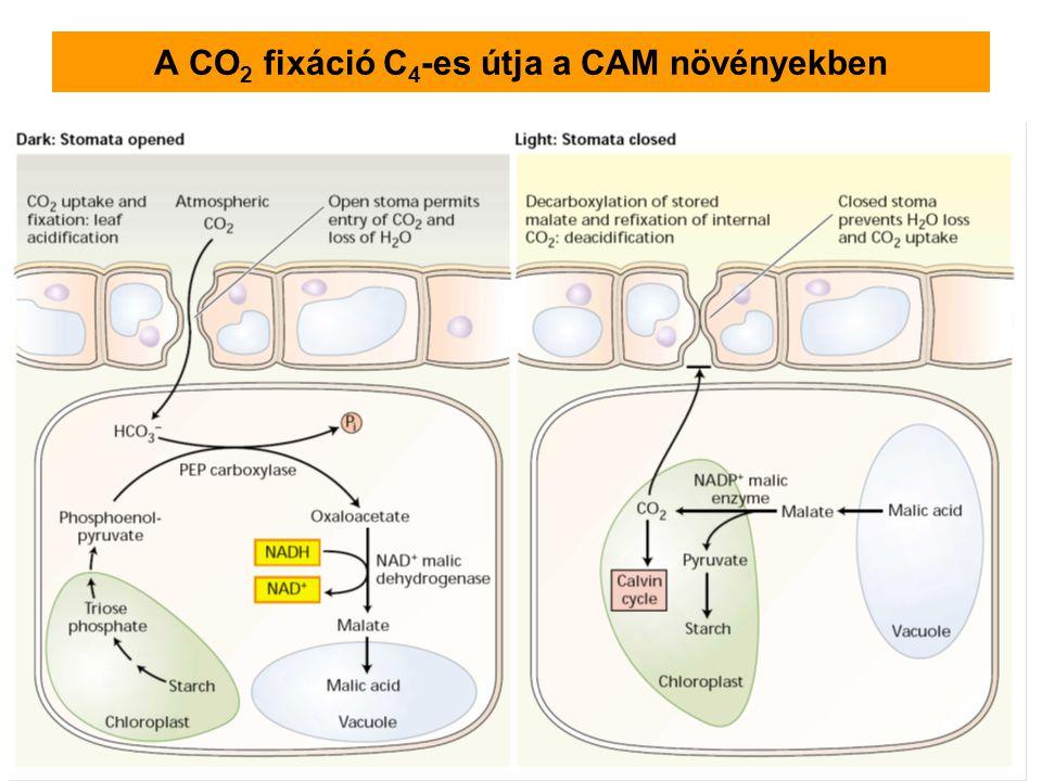 A CO 2 fixáció C 4 -es útja a CAM növényekben