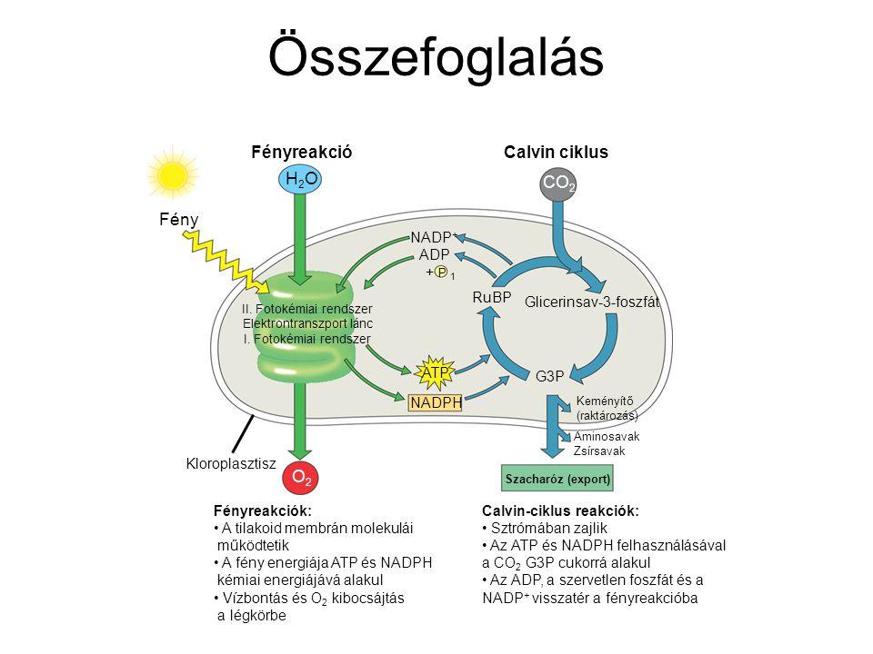 Összefoglalás Fényreakciók: A tilakoid membrán molekulái működtetik A fény energiája ATP és NADPH kémiai energiájává alakul Vízbontás és O 2 kibocsájt
