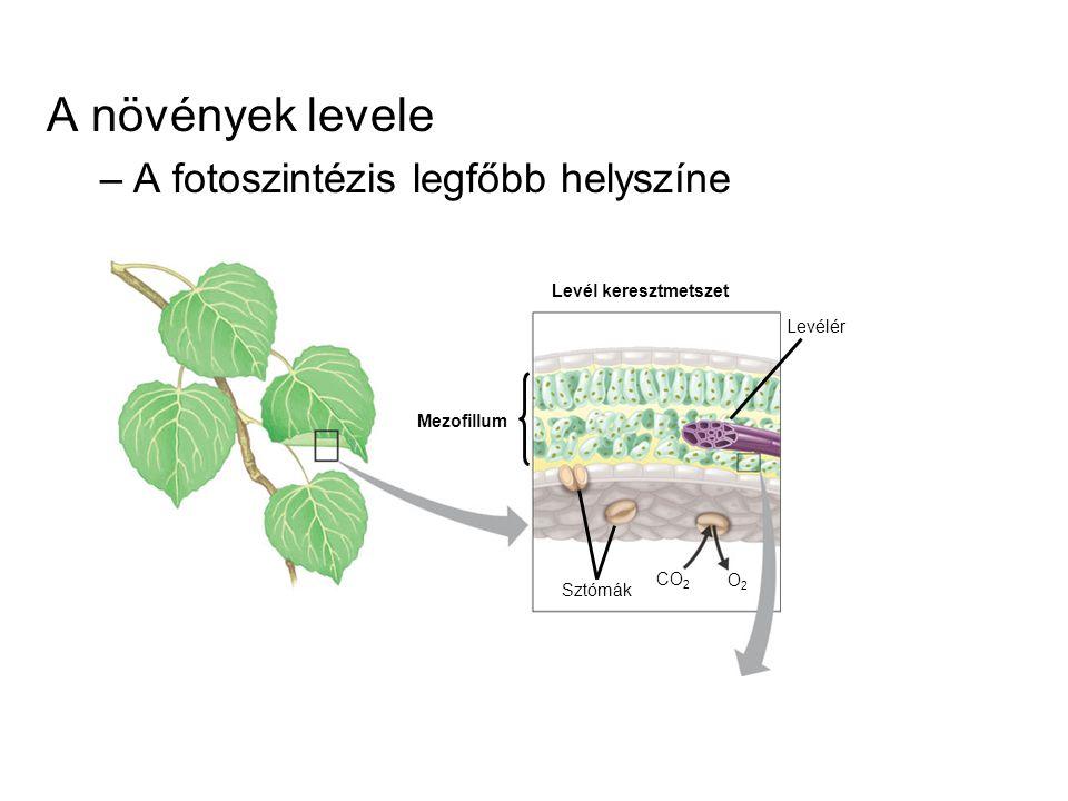 Kloroplasztisz –Organellum, melyben a fotoszintézis zajlik –Tilakoidokat és gránumokat tartalmaznak Kloroplasztisz Mezofillum sejtjei 5 µm Külső membrán Membránok közötti tér Belső membrán Lumen Tilakoid Gránum Sztróma 1 µm