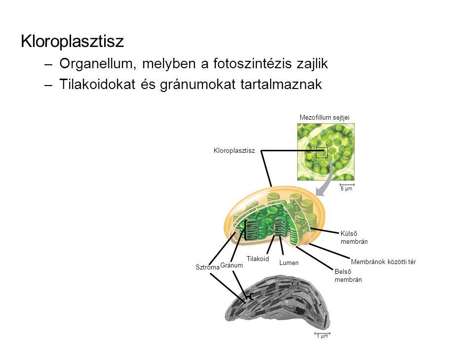 A fotoszintetikus apparátus szerkezete Kloroplasztiszok lencse alakú, 3-10 µ m 3, 20-60 db/sejt kettős membrán határolja (6 nm vastagságúak, 10-20 nm-es résekkel) sztróma (CO 2 redukciós enzimek, klp cirkuláris DNS, 70S riboszómák, keményítőszemcsék) tilakoidmembránok, összefüggő üregrendszer = lumen gránumok