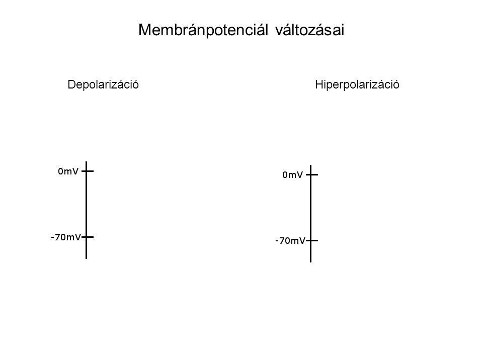 Membránpotenciál változásai Depolarizáció Hiperpolarizáció