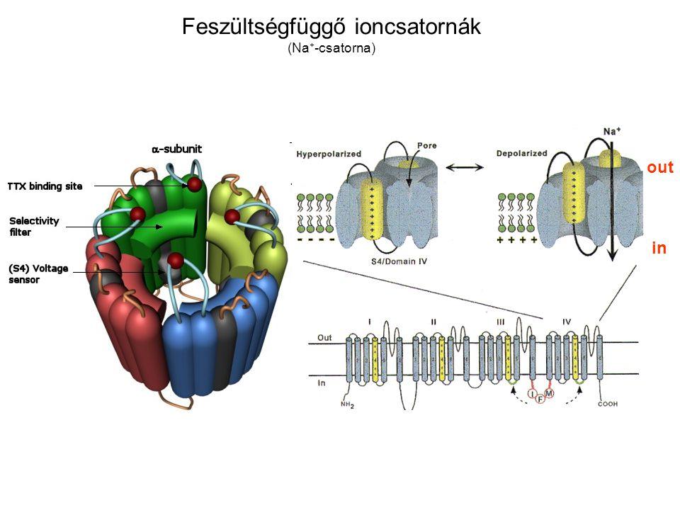 Feszültségfüggő ioncsatornák (Na + -csatorna) in out