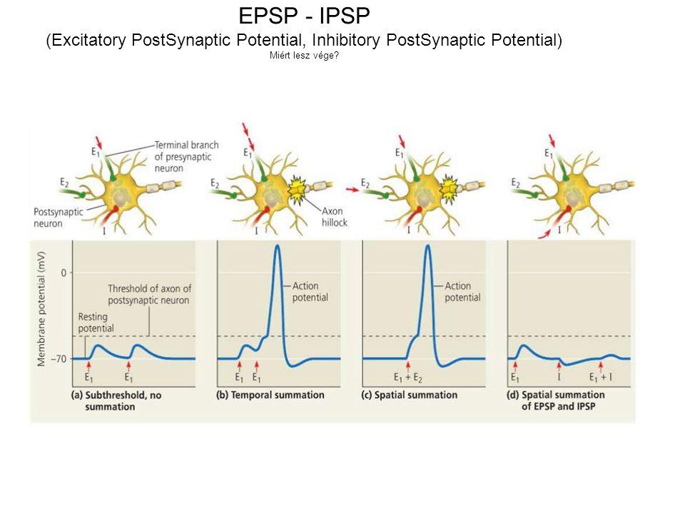 EPSP - IPSP (Excitatory PostSynaptic Potential, Inhibitory PostSynaptic Potential) Miért lesz vége?