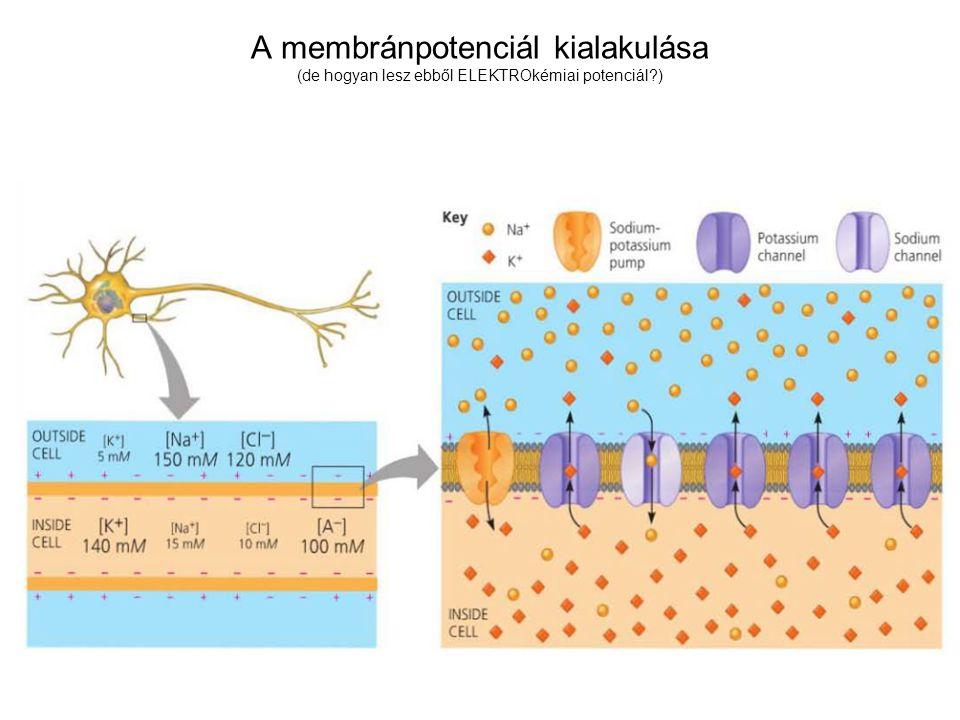 A membránpotenciál kialakulása (de hogyan lesz ebből ELEKTROkémiai potenciál?)
