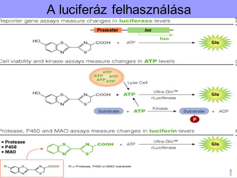 A luciferáz felhasználása