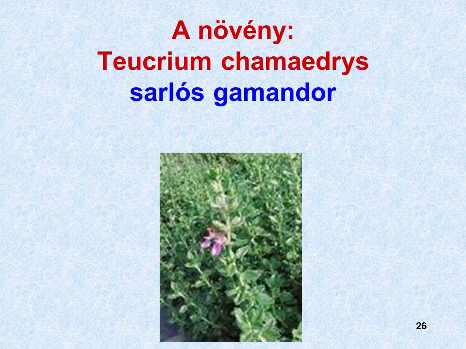 26 A növény: Teucrium chamaedrys sarlós gamandor