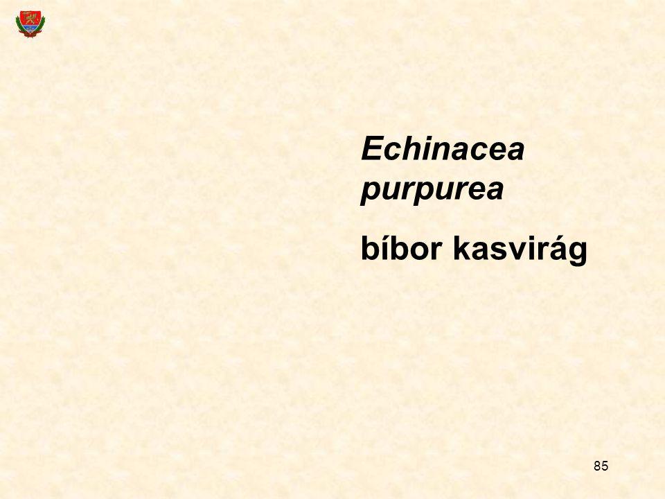 85 Echinacea purpurea bíbor kasvirág