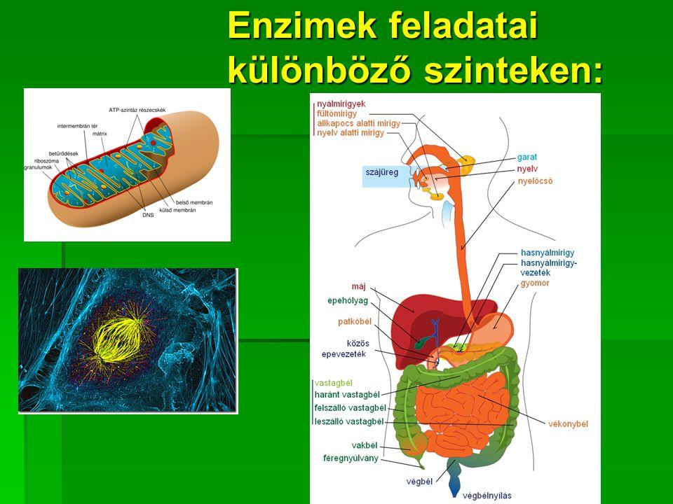 Enzimek főbb hatásterületei Táplálék lebontásaTáplálék lebontása Felépítő folyamatokFelépítő folyamatok Szabályozó folyamatokSzabályozó folyamatok Védekező mechanizmusokVédekező mechanizmusok