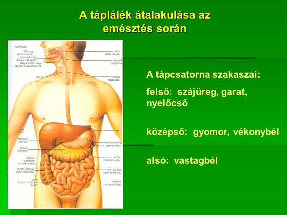 A szájüregben található enzimek:  alfa-amiláz (ptialin): szénhidrátbontó enzim, ami a keményítőt kisebb részekre bontja.