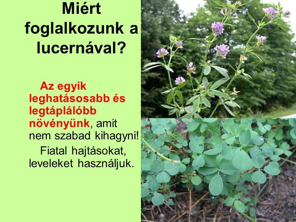 Tápértéke: Egyetlen más zöldségféle vagy gyümölcs sem tartalmaz annyi vitamint és ásványi sót, mint a lucerna