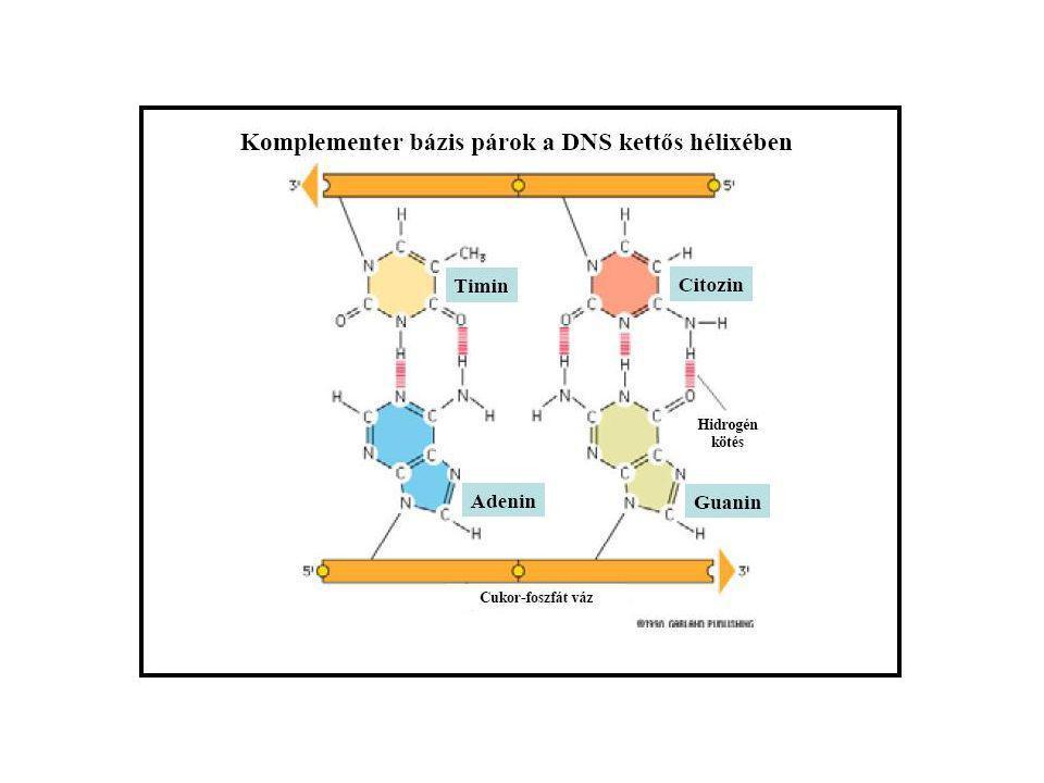 Alapvető fontosságú anyagcserefolyamat minden olyan élő sejtben, amely oxigént használ a sejtlégzés folyamatában.