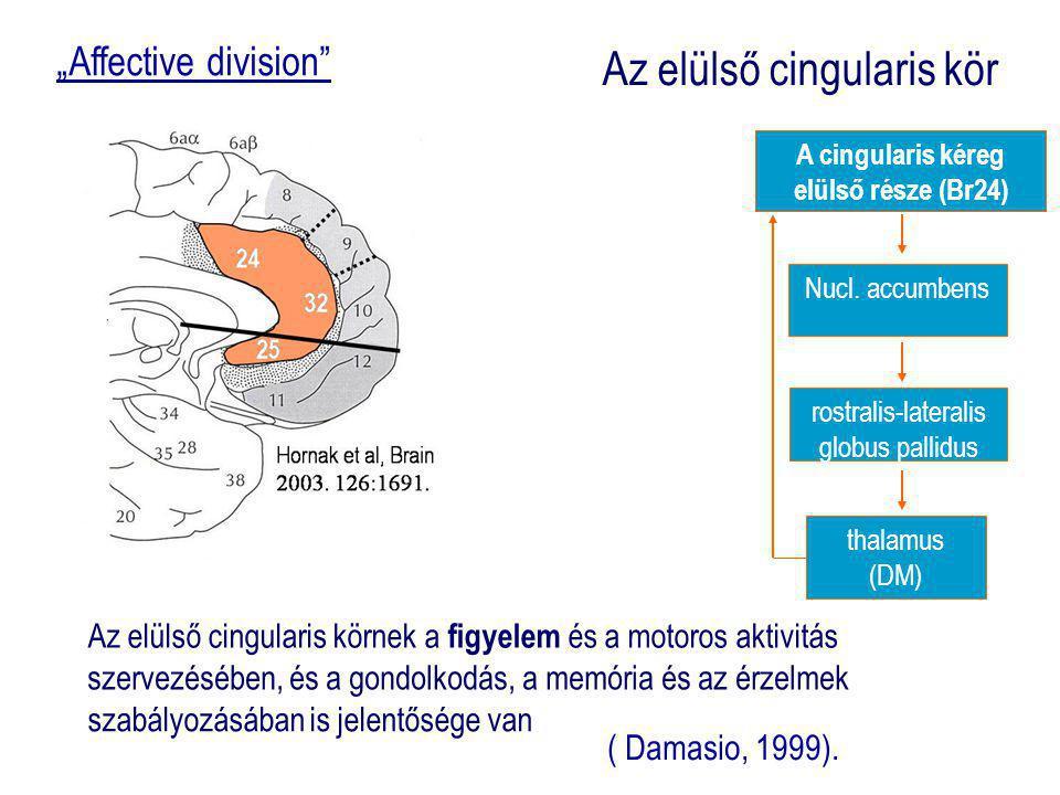 A cingularis kéreg hatása a viselkedésre Elülső area affectív = Br25, Br 33, Br24 elülső rész) (emotio, vocalisatio, emot.