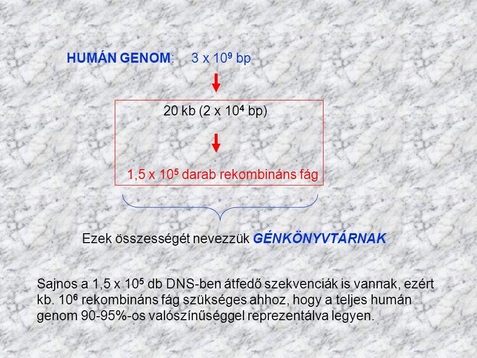 HUMÁN GENOM: 3 x 10 9 bp 20 kb (2 x 10 4 bp) 1,5 x 10 5 darab rekombináns fág Ezek összességét nevezzük GÉNKÖNYVTÁRNAK Sajnos a 1,5 x 10 5 db DNS-ben