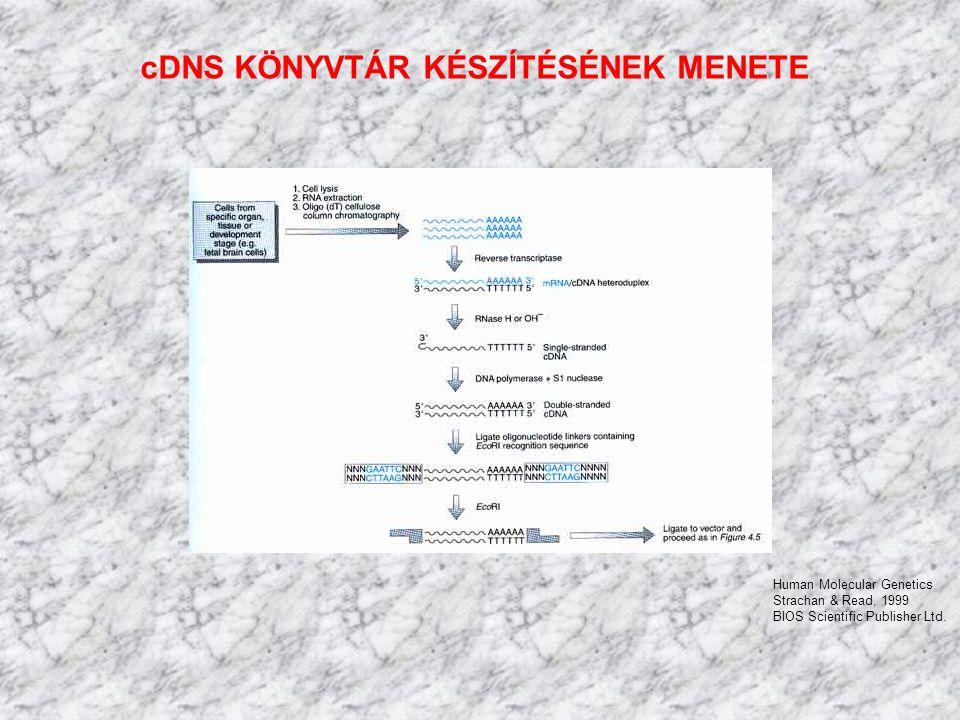 cDNS KÖNYVTÁR KÉSZÍTÉSÉNEK MENETE Human Molecular Genetics Strachan & Read, 1999 BIOS Scientific Publisher Ltd.