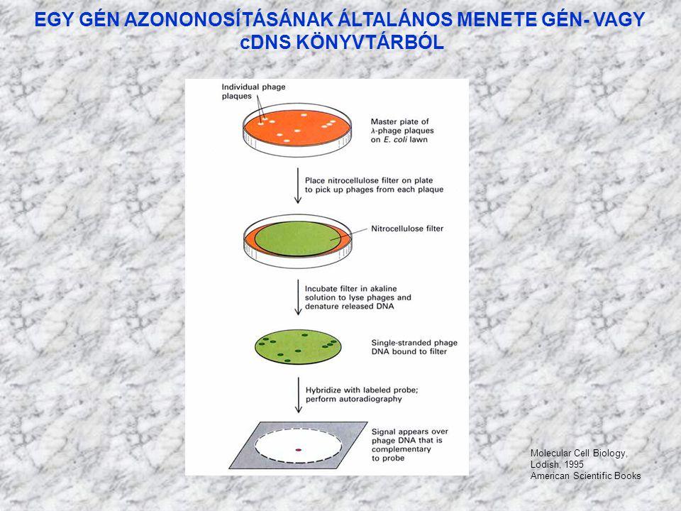 EGY GÉN AZONONOSÍTÁSÁNAK ÁLTALÁNOS MENETE GÉN- VAGY cDNS KÖNYVTÁRBÓL Molecular Cell Biology, Lodish, 1995 American Scientific Books