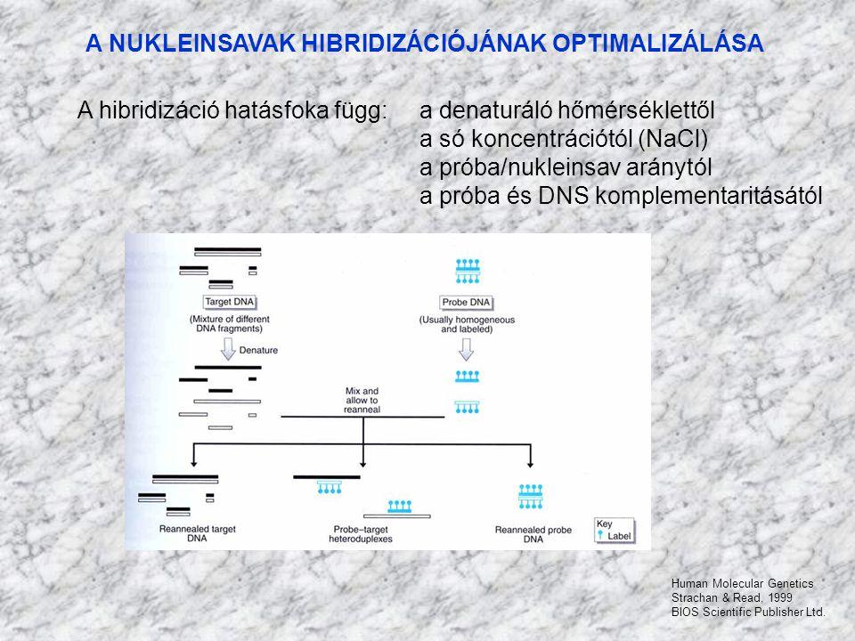A NUKLEINSAVAK HIBRIDIZÁCIÓJÁNAK OPTIMALIZÁLÁSA A hibridizáció hatásfoka függ: a denaturáló hőmérséklettől a só koncentrációtól (NaCl) a próba/nuklein