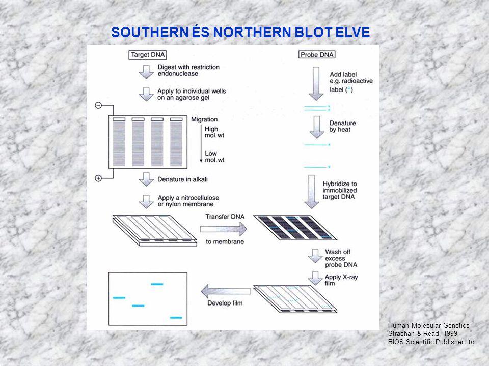 SOUTHERN ÉS NORTHERN BLOT ELVE Human Molecular Genetics Strachan & Read, 1999 BIOS Scientific Publisher Ltd.