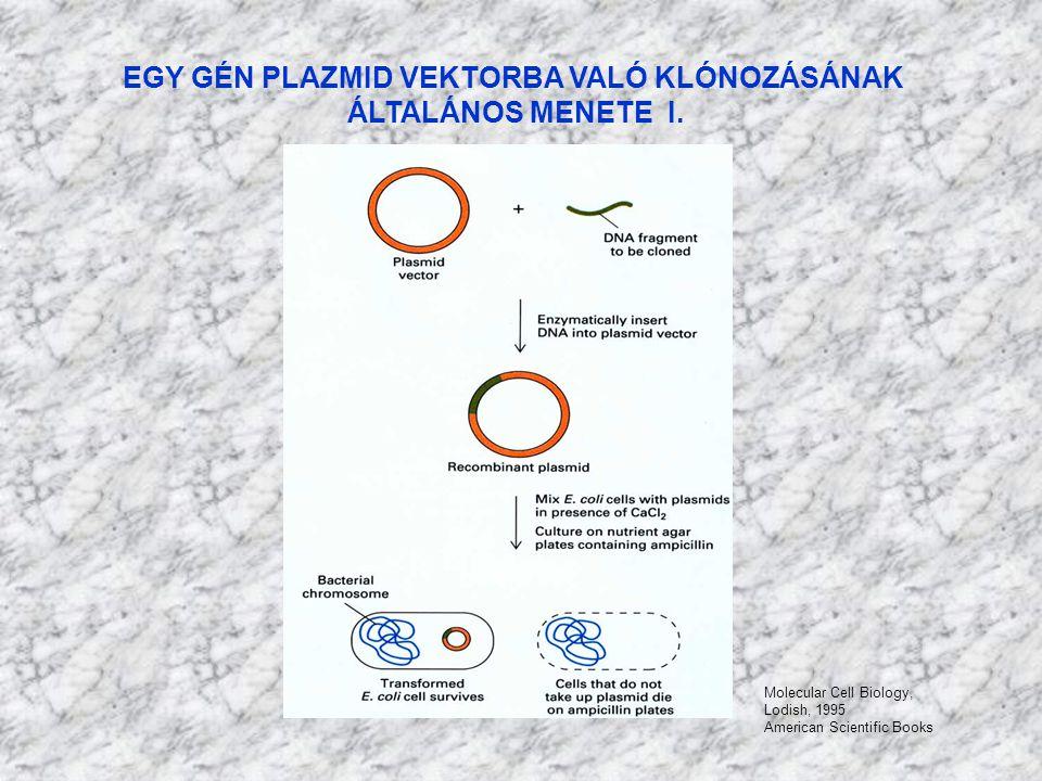 EGY GÉN PLAZMID VEKTORBA VALÓ KLÓNOZÁSÁNAK ÁLTALÁNOS MENETE II.