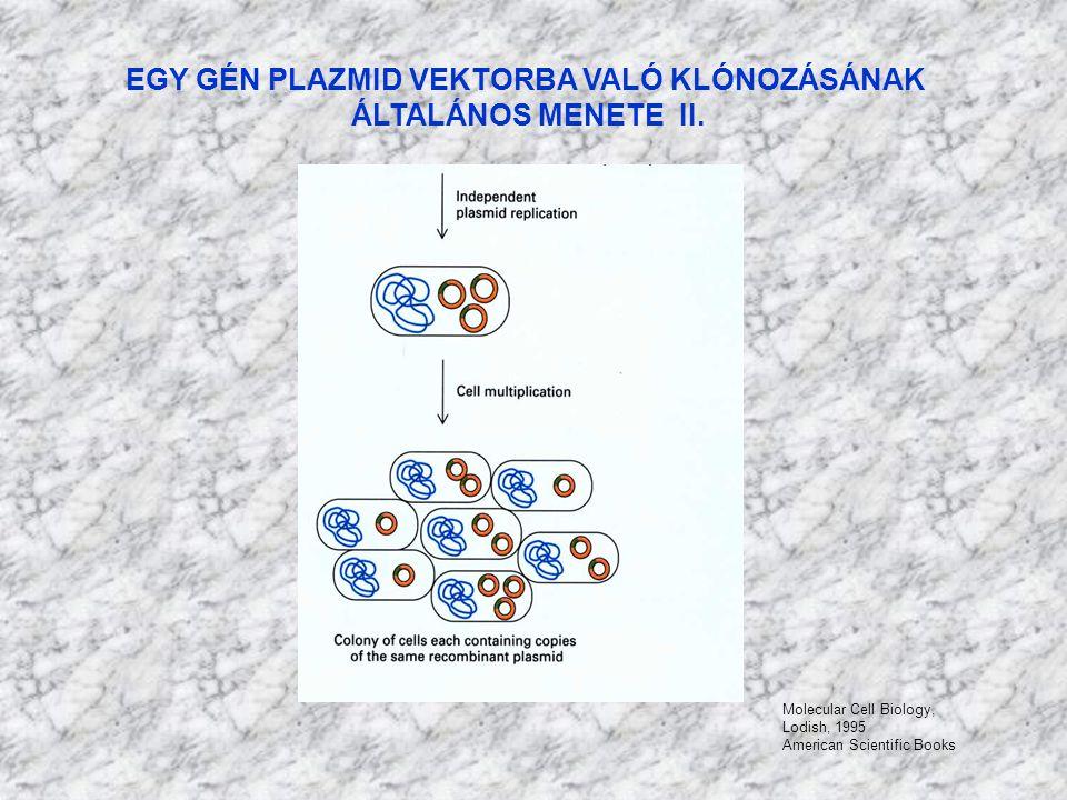 EGY GÉN PLAZMID VEKTORBA VALÓ KLÓNOZÁSÁNAK ÁLTALÁNOS MENETE II. Molecular Cell Biology, Lodish, 1995 American Scientific Books