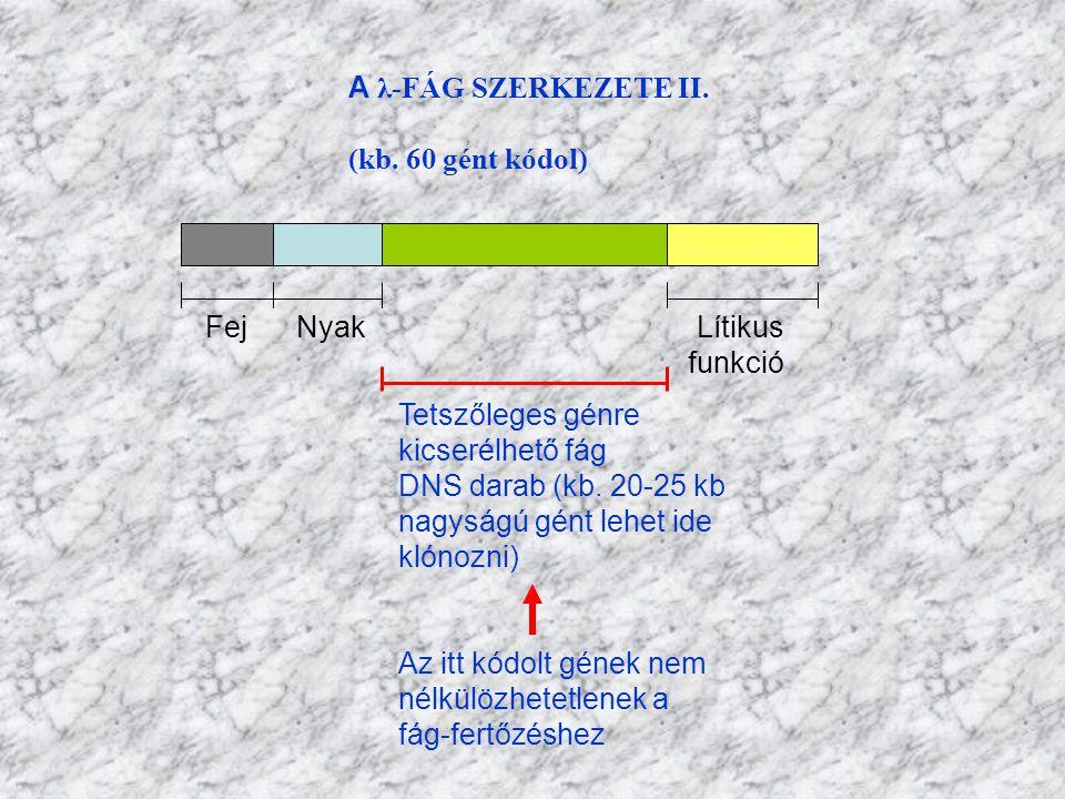 A λ-FÁG SZERKEZETE II. (kb. 60 gént kódol) Fej Nyak Lítikus funkció Tetszőleges génre kicserélhető fág DNS darab (kb. 20-25 kb nagyságú gént lehet ide