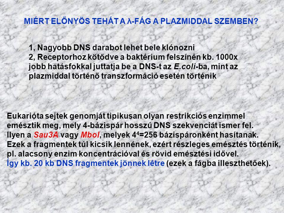 MIÉRT ELŐNYÖS TEHÁT A λ-FÁG A PLAZMIDDAL SZEMBEN? 1, Nagyobb DNS darabot lehet bele klónozni 2, Receptorhoz kötődve a baktérium felszínén kb. 1000x jo