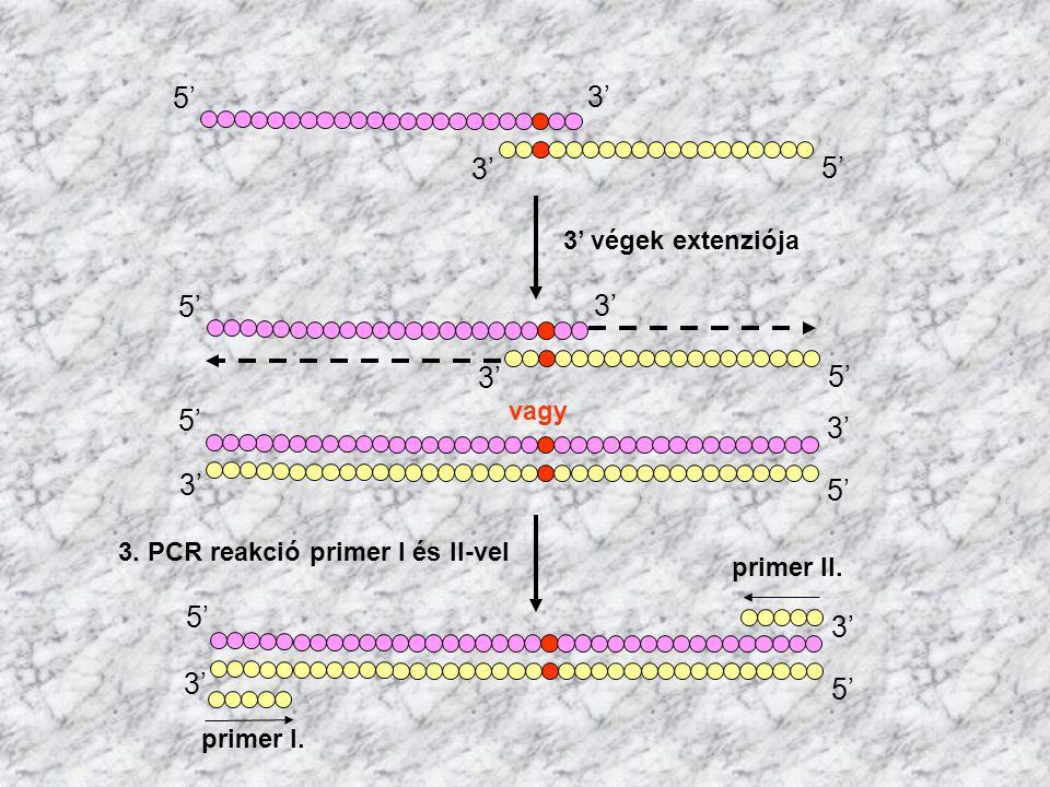 5' 3' 5' 3' 3' végek extenziója 5' 3' vagy 5' 3' primer I. 5' primer II. 3. PCR reakció primer I és II-vel