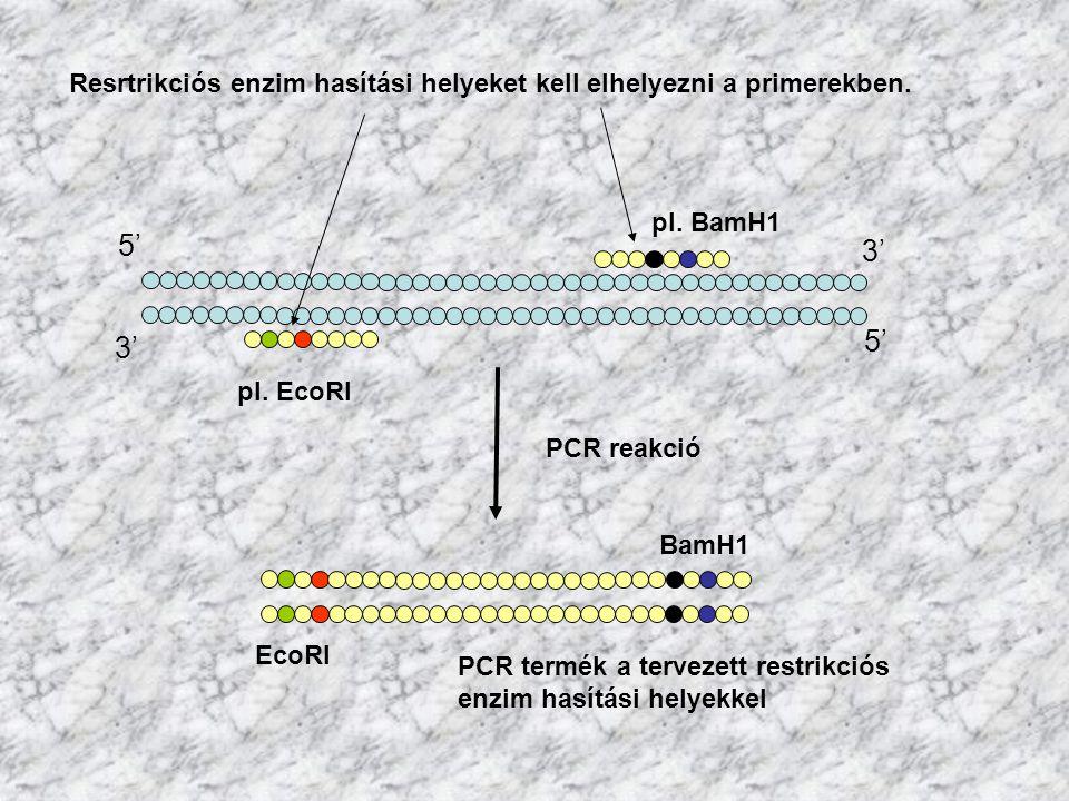 3' 5' Resrtrikciós enzim hasítási helyeket kell elhelyezni a primerekben. pl. EcoRI pl. BamH1 EcoRI PCR reakció BamH1 PCR termék a tervezett restrikci