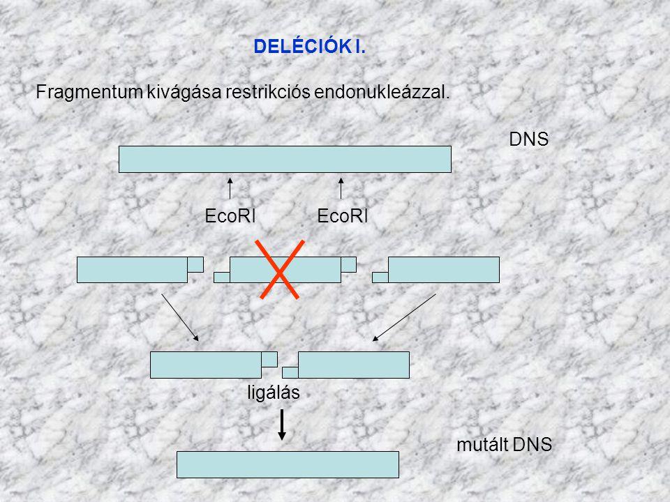 DELÉCIÓK I. DNS EcoRI mutált DNS ligálás Fragmentum kivágása restrikciós endonukleázzal.