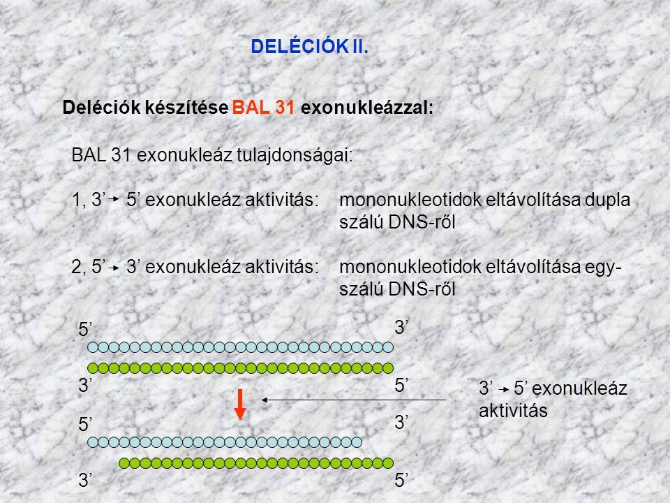 DELÉCIÓK II. Deléciók készítése BAL 31 exonukleázzal: BAL 31 exonukleáz tulajdonságai: 1, 3' 5' exonukleáz aktivitás: mononukleotidok eltávolítása dup