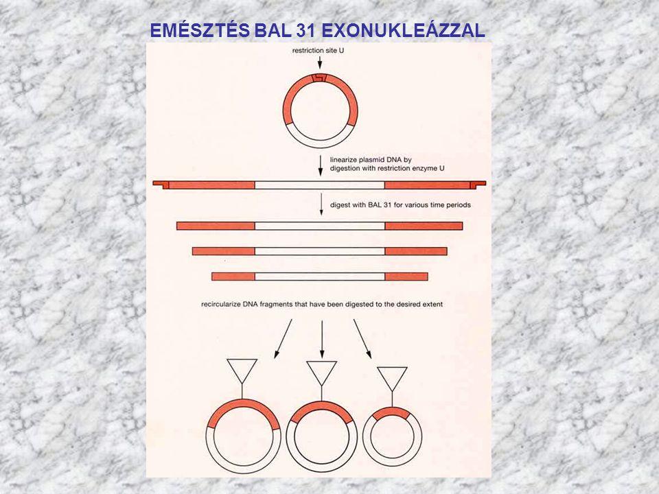 3' 5' Resrtrikciós enzim hasítási helyeket kell elhelyezni a primerekben.