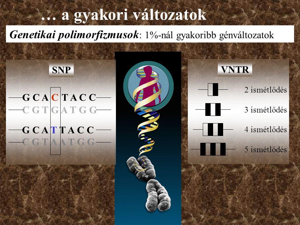 2 ismétlődés 3 ismétlődés 4 ismétlődés 5 ismétlődés VNTR G C A C T A C C C G T G A T G G G C A T T A C C C G T A A T G G SNP … a gyakori változatok Genetikai polimorfizmusok : 1%-nál gyakoribb génváltozatok
