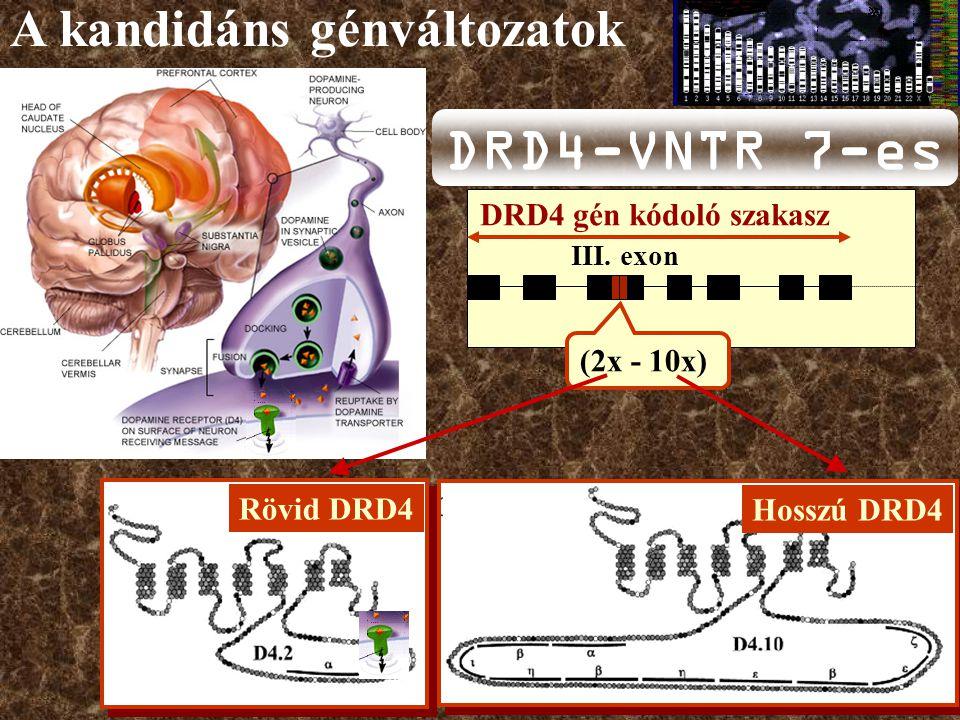 Rövid DRD4 Hosszú DRD4 A kandidáns génváltozatok III.