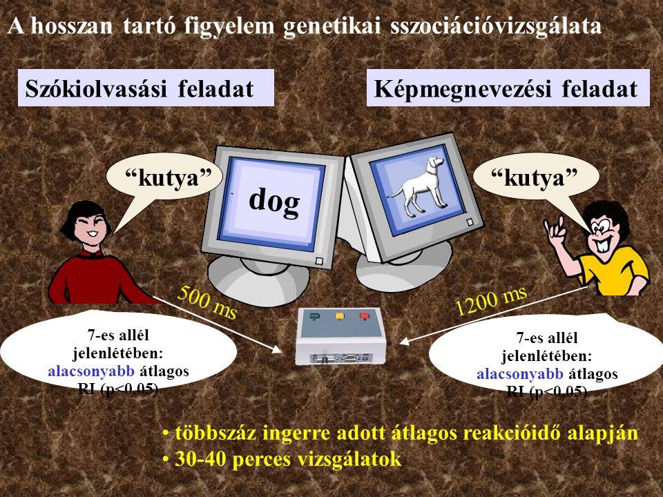 dog Szókiolvasási feladatKépmegnevezési feladat többszáz ingerre adott átlagos reakcióidő alapján 30-40 perces vizsgálatok kutya 1200 ms 500 ms 7-es allél jelenlétében: alacsonyabb átlagos RI (p<0.05) A hosszan tartó figyelem genetikai sszociációvizsgálata