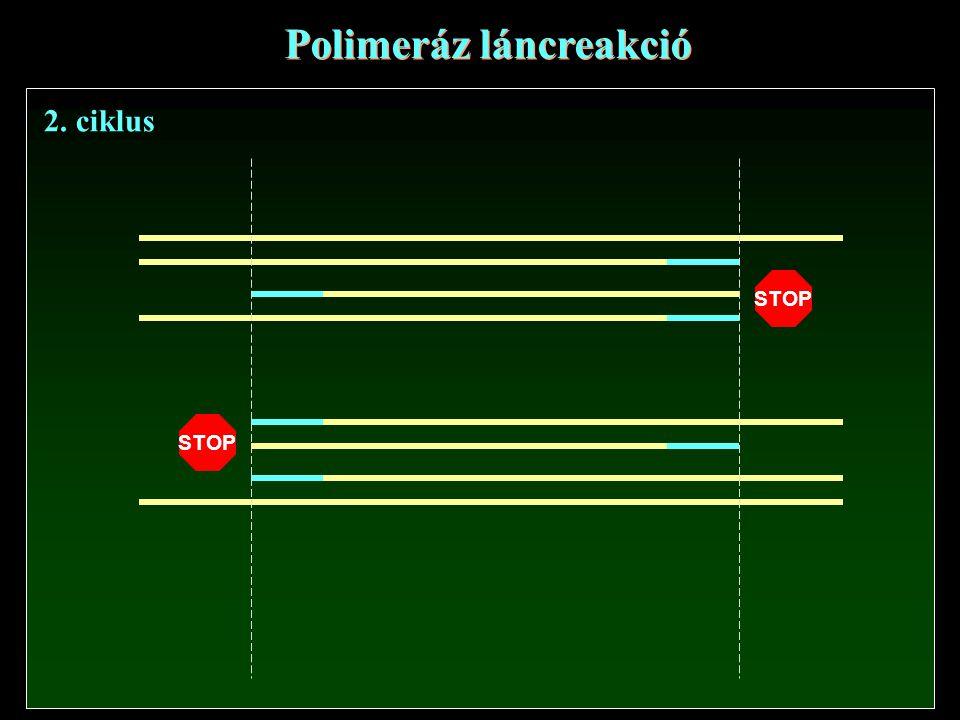 Polimeráz láncreakció STOP 2. ciklus