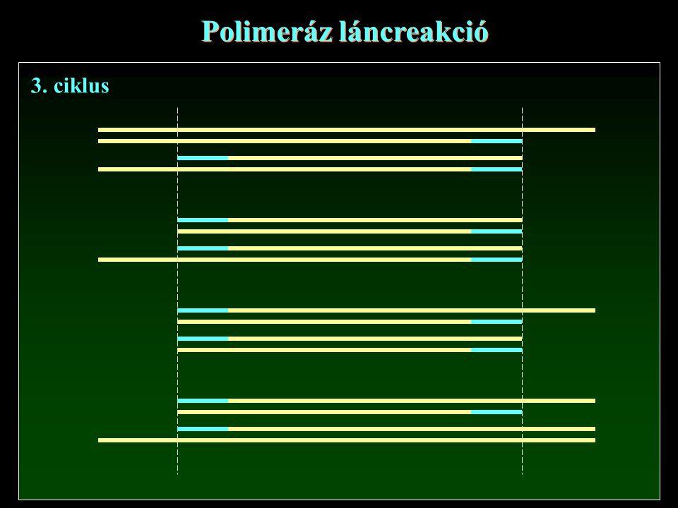 Polimeráz láncreakció 3. ciklus