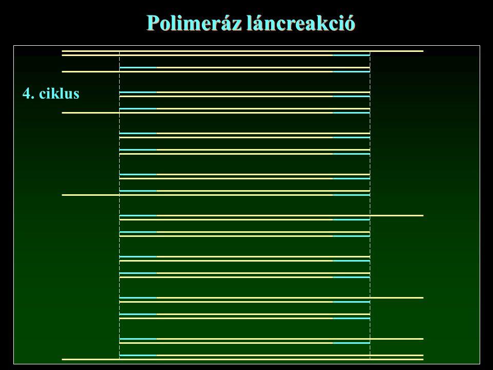 Polimeráz láncreakció 4. ciklus