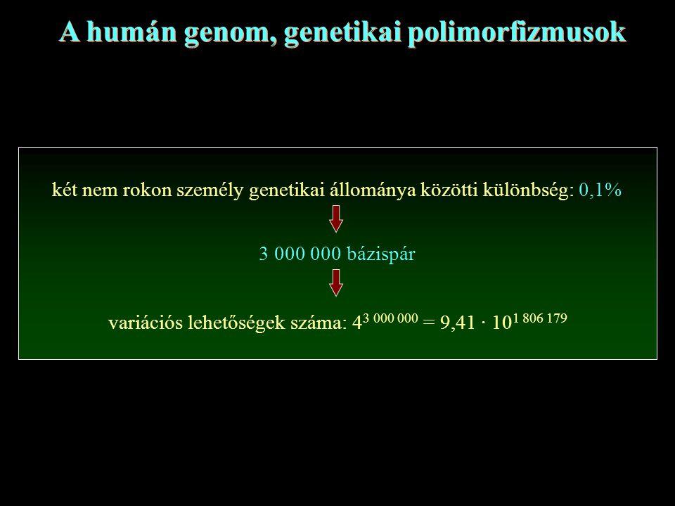 A humán genom, genetikai polimorfizmusok két nem rokon személy genetikai állománya közötti különbség: 0,1% 3 000 000 bázispár variációs lehetőségek száma: 4 3 000 000 = 9,41 · 10 1 806 179