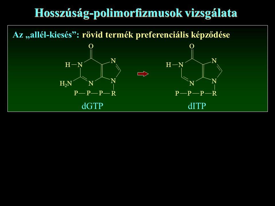 """Hosszúság-polimorfizmusok vizsgálata Az """"allél-kiesés : rövid termék preferenciális képződése N N N N R PPP O H dGTPdITP N N N N R PPP O H H2NH2N"""