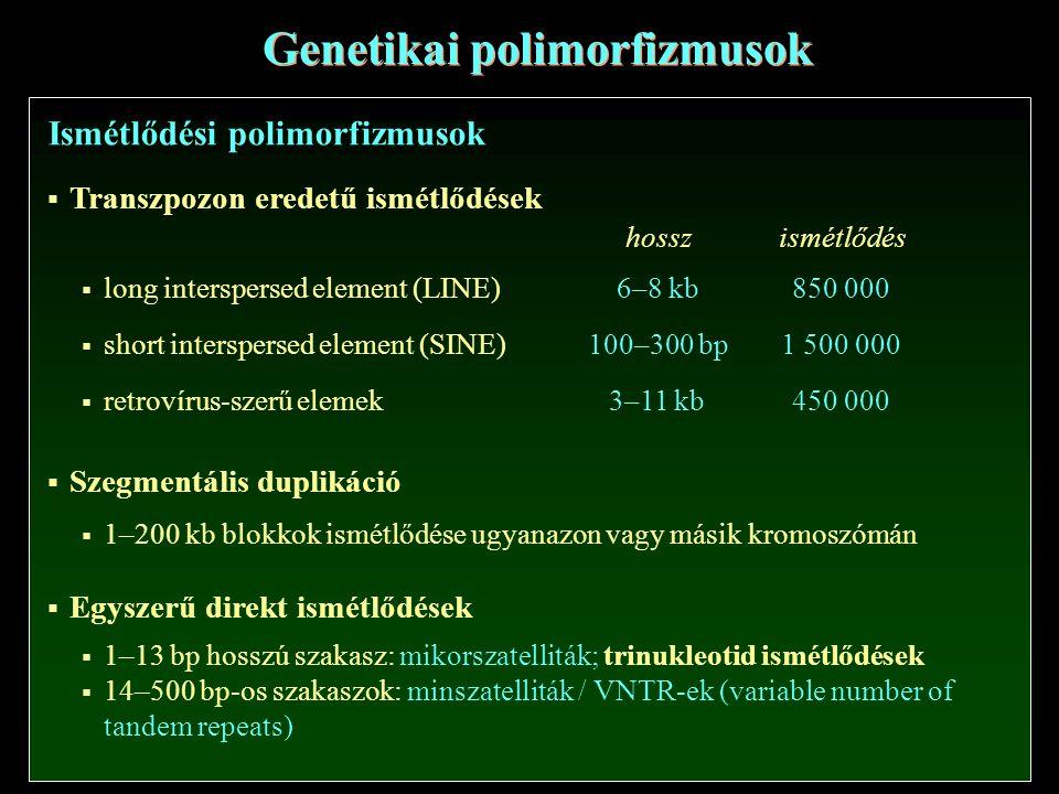 Genetikai polimorfizmusok Ismétlődési polimorfizmusok  Transzpozon eredetű ismétlődések  long interspersed element (LINE)  short interspersed element (SINE)  retrovírus-szerű elemek hosszismétlődés 6–8 kb 100–300 bp 3–11 kb 850 000 1 500 000 450 000  Szegmentális duplikáció  1–200 kb blokkok ismétlődése ugyanazon vagy másik kromoszómán  Egyszerű direkt ismétlődések  1–13 bp hosszú szakasz: mikorszatelliták; trinukleotid ismétlődések  14–500 bp-os szakaszok: minszatelliták / VNTR-ek (variable number of tandem repeats)