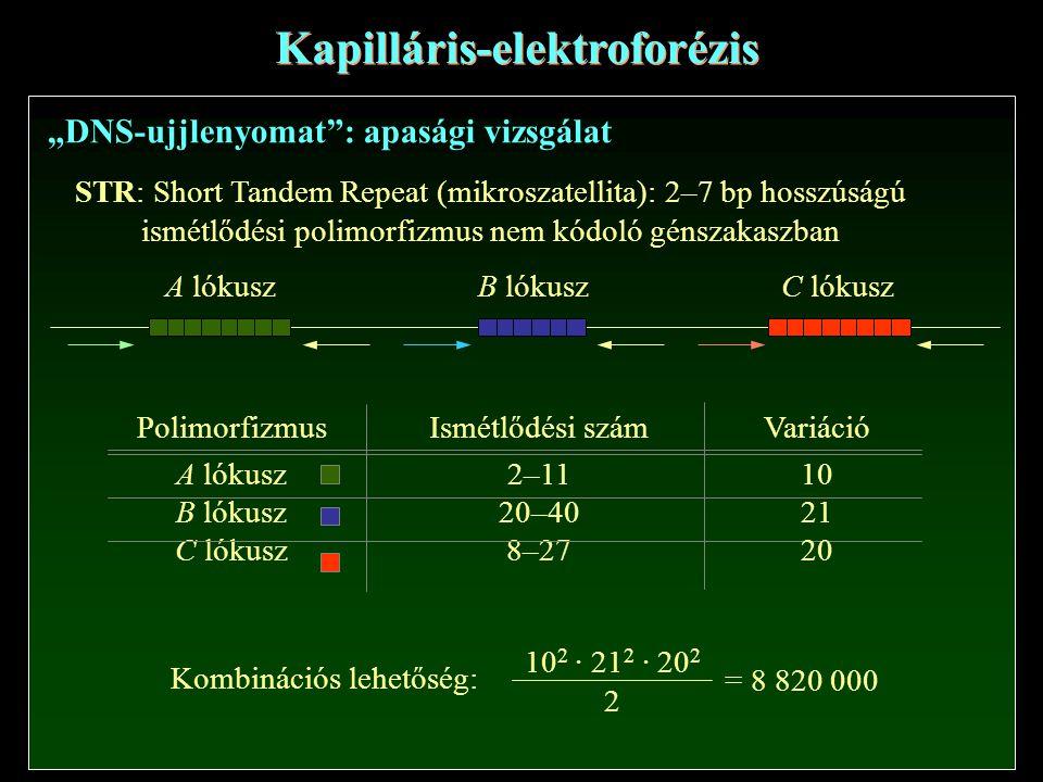 """Kapilláris-elektroforézis """"DNS-ujjlenyomat : apasági vizsgálat STR: Short Tandem Repeat (mikroszatellita): 2–7 bp hosszúságú ismétlődési polimorfizmus nem kódoló génszakaszban A lókusz B lókuszC lókusz Polimorfizmus A lókusz B lókusz C lókusz Ismétlődési szám 2–11 20–40 8–27 Variáció 10 21 20 = 8 820 000 Kombinációs lehetőség: 10 2 · 21 2 · 20 2 2"""