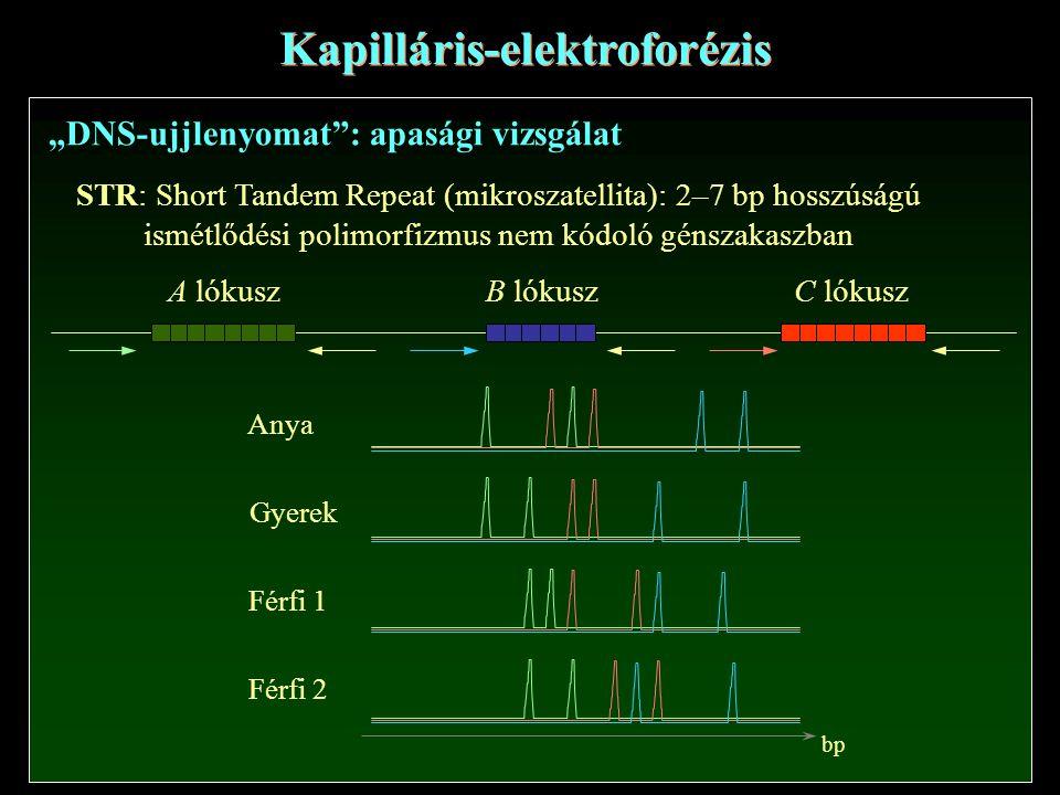 """Kapilláris-elektroforézis """"DNS-ujjlenyomat : apasági vizsgálat STR: Short Tandem Repeat (mikroszatellita): 2–7 bp hosszúságú ismétlődési polimorfizmus nem kódoló génszakaszban A lókusz B lókuszC lókusz Anya Gyerek Férfi 1 Férfi 2 bp"""