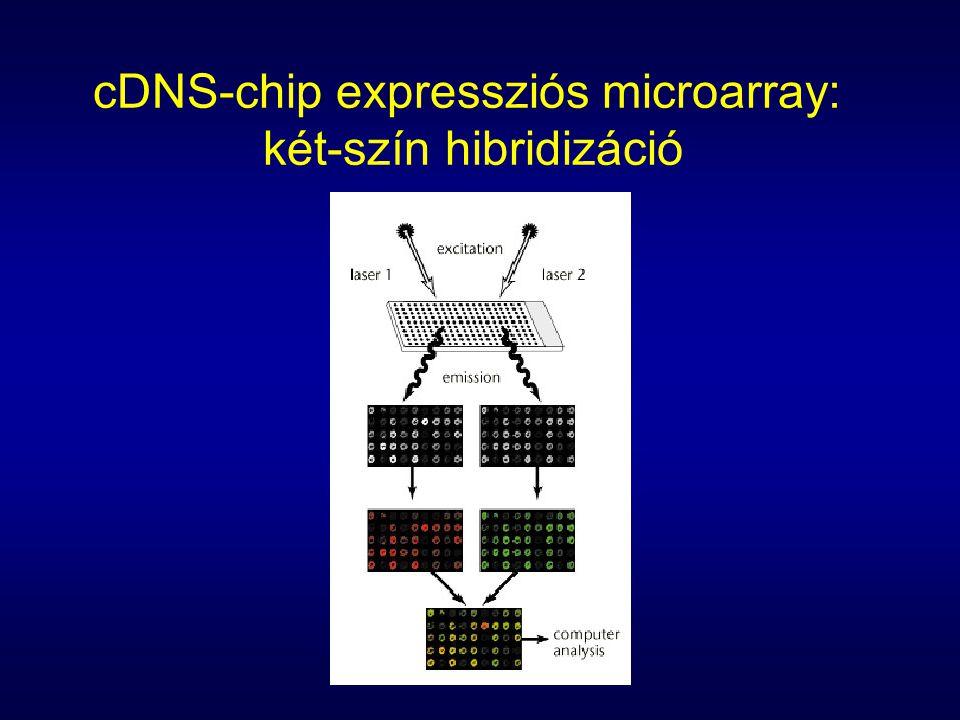 cDNS-chip expressziós microarray: két-szín hibridizáció