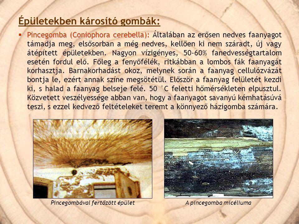 Épületekben károsító gombák:  Pincegomba (Coniophora cerebella):  Pincegomba (Coniophora cerebella): Általában az erősen nedves faanyagot támadja me