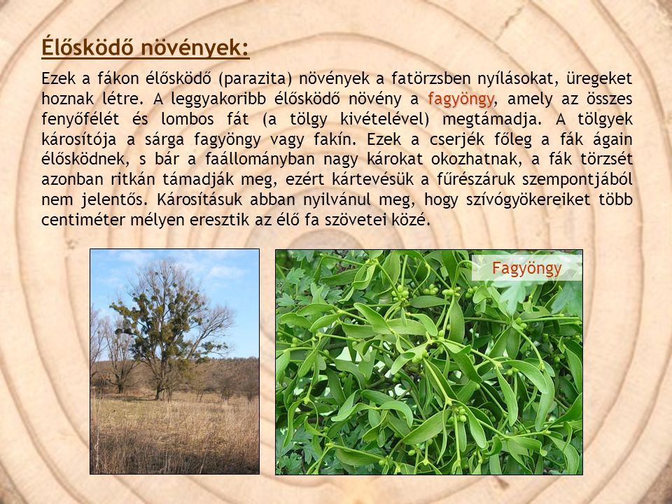 Élősködő növények: fagyöngy Ezek a fákon élősködő (parazita) növények a fatörzsben nyílásokat, üregeket hoznak létre. A leggyakoribb élősködő növény a