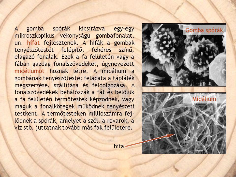 hifát micéliumot A gomba spórák kicsírázva egy-egy mikroszkopikus vékonyságú gombafonalat, un. hifát fejlesztenek. A hifák a gombák tenyészőtestét fel