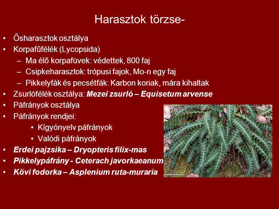 Harasztok törzse- Ősharasztok osztálya Korpafűfélék (Lycopsida) –Ma élő korpafüvek: védettek, 800 faj –Csipkeharasztok: trópusi fajok, Mo-n egy faj –P