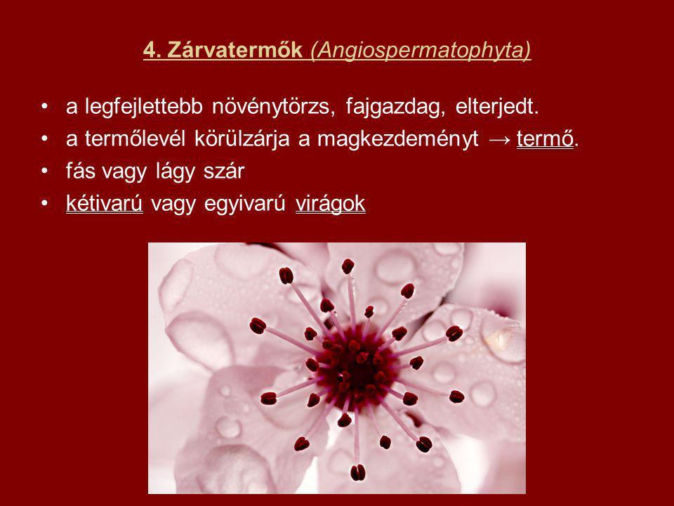 4. Zárvatermők (Angiospermatophyta) a legfejlettebb növénytörzs, fajgazdag, elterjedt. a termőlevél körülzárja a magkezdeményt → termő. fás vagy lágy