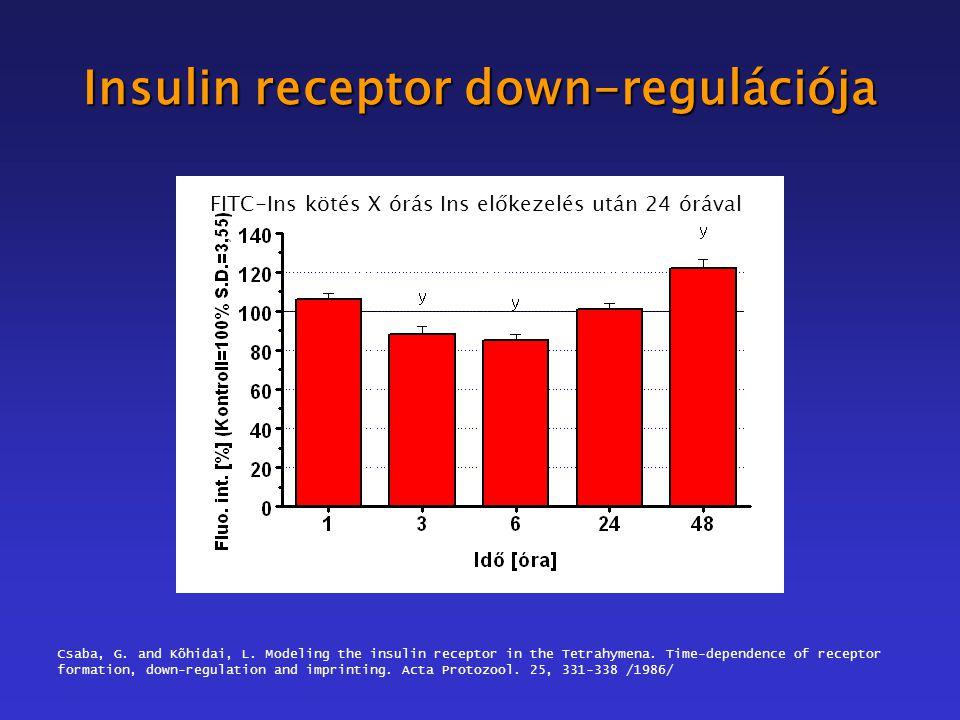 Insulin receptor down-regulációja 1 óra Ins előkezelés – FITC-Ins kötés Xóra múlva X óra Ins előkezelés utáni FITC-Ins kötés FITC-Ins kötés X órás Ins előkezelés után 24 órával Csaba, G.