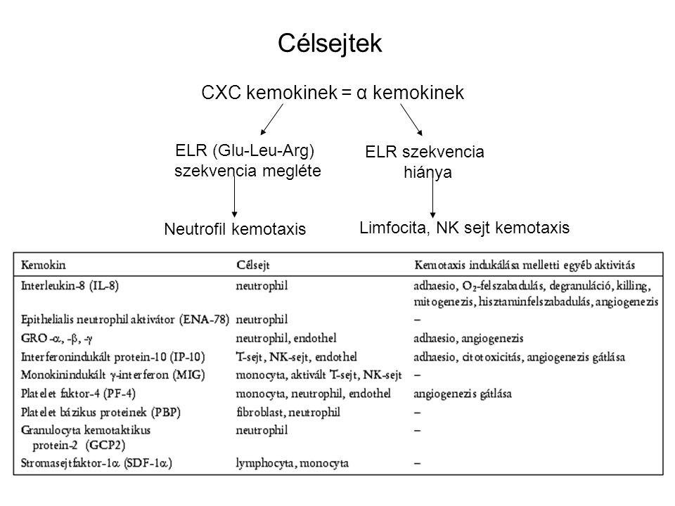 16 CXC kemokinek = α kemokinek ELR (Glu-Leu-Arg) szekvencia megléte ELR szekvencia hiánya Neutrofil kemotaxis Limfocita, NK sejt kemotaxis Célsejtek